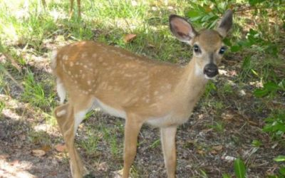 Endangered Key Deer Review