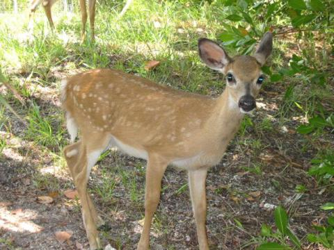 Saving Endangered Key Deer