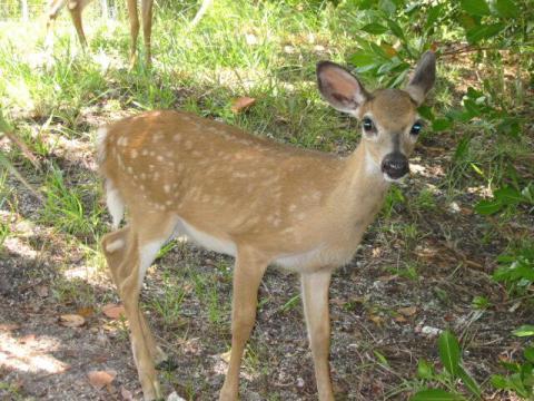 Saving Endangered Key Deer